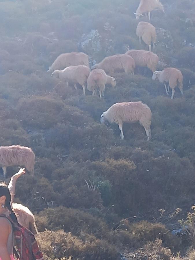 Tämän kuvan alt-attribuutti on tyhjä; Tiedoston nimi on Imbros_lampaat.jpg