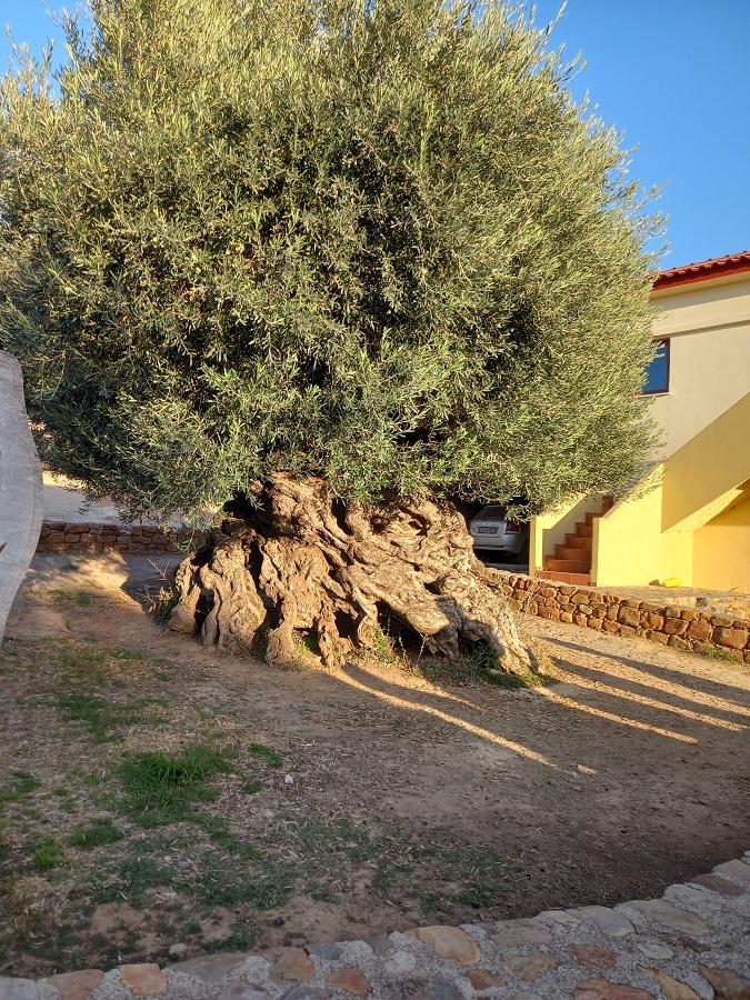 Tämän kuvan alt-attribuutti on tyhjä; Tiedoston nimi on Lauantai_Vouves_oliivipuu.jpg